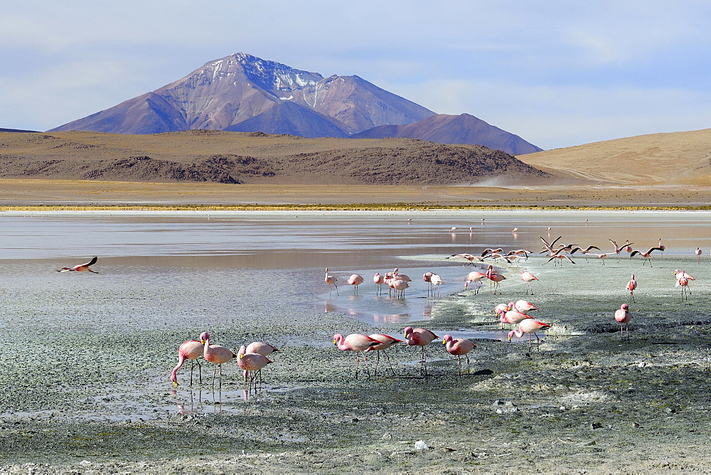 James's flamingos (Phoenicoparrus jamesi), Laguna Hedionda, lagoon route, Nor Lipez Province, Potosi Department, Bolivia, South America