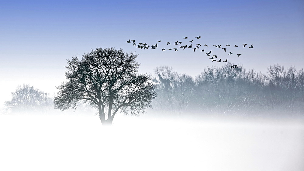 River Elbe Floodplains in winter, solitary tree, flock of birds, geese in early mist, Central Elbe Biosphere Reserve, Saxony-Anhalt