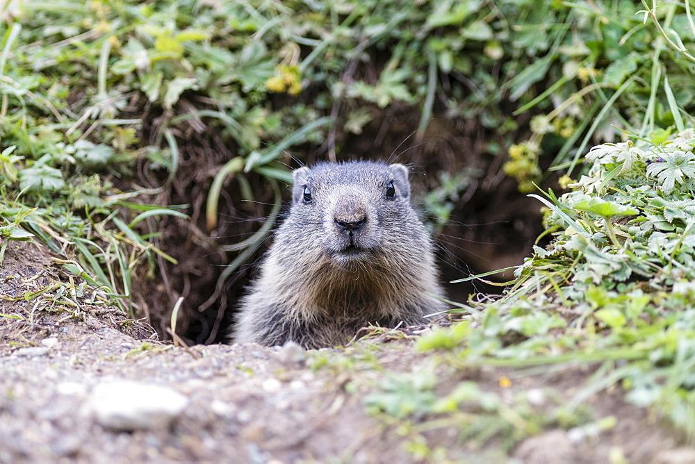 Marmot (Marmota), juvenile peeking out of burrow, Dachstein, Styria, Austria, Europe
