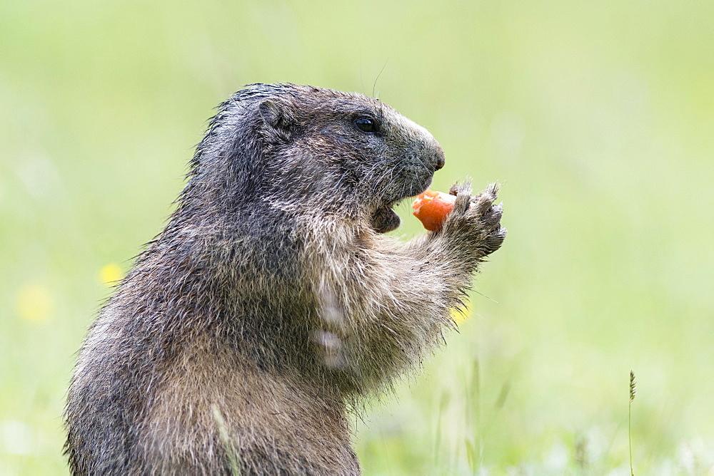 Marmot (Marmota) eating a carrot, Dachstein, Styria, Austria, Europe