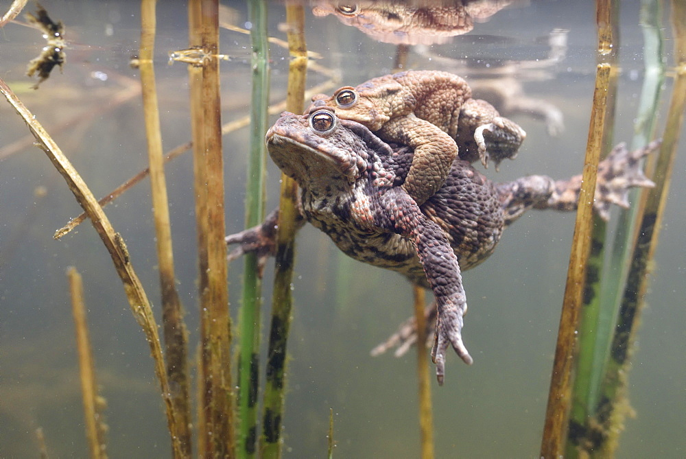 Common toads (Bufo bufo-Komplex), pair swims in the pond between aquatic plants, pairing, Sachsen-Anhalt, Germany, Europe - 832-379122
