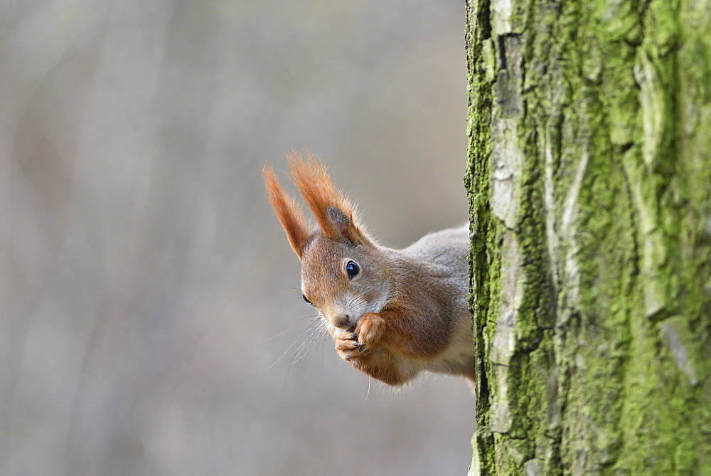 Eurasian red squirrel (Sciurus vulgaris) looks out from behind a tree, Saxony, Germany, Europe