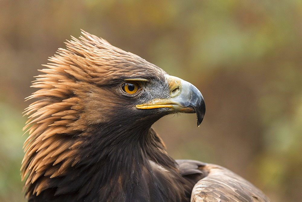 Golden Eagle (Aquila chrysaetos), portrait, captive
