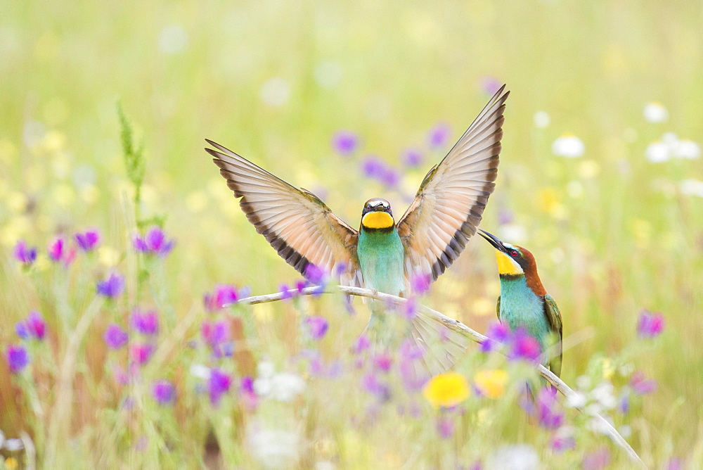 Bee-eaters (Merops apiaster), breeding pair in flower meadow, region of Extremadura, Spain, Europe