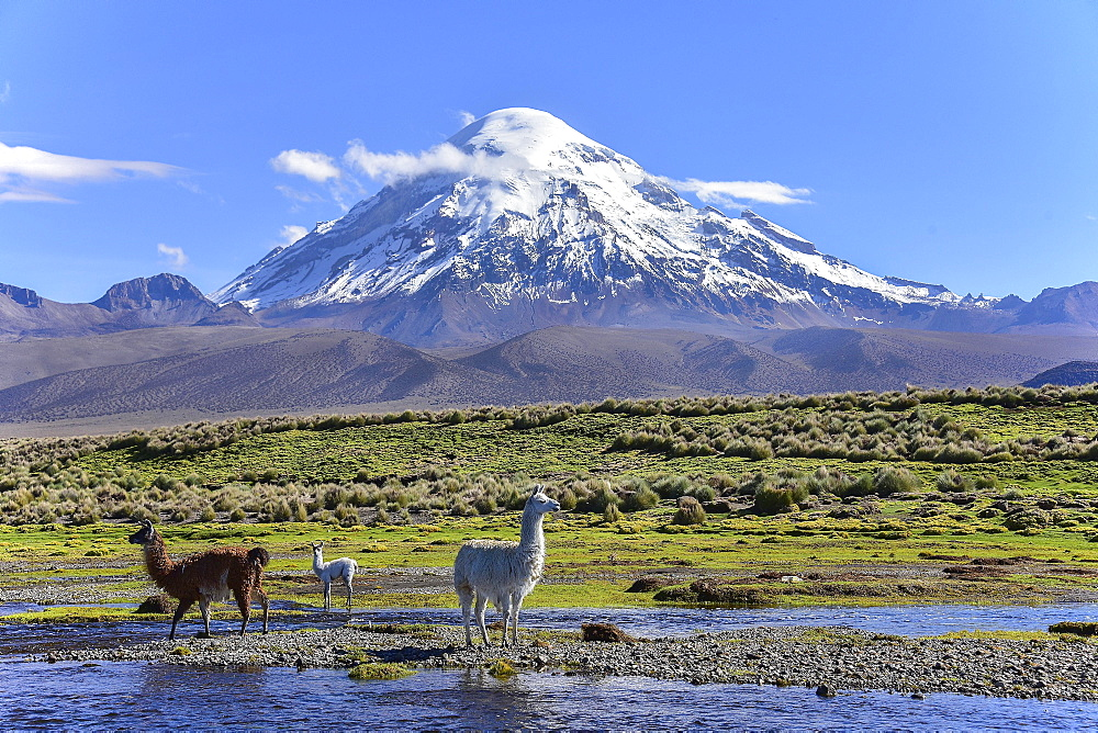 Llamas (lama glama) at river in front of volcano Sajama, covered with snow, Sajama National Park, Altiplano, Bolivia, South America