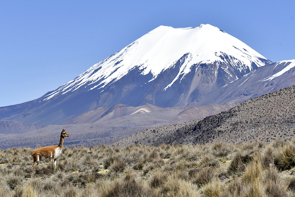 Snow covered volcanoes Pomerape and Parinacota with Guanaco (Lama guanicoe), Sajama National Park, Bolivian Bolivia border Chile