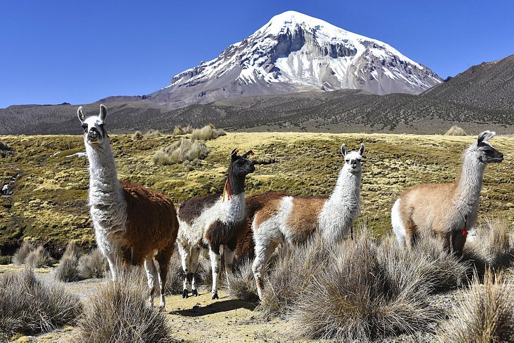 Llamas (lama glama) off Sajama Volcano, snow covered, Sajama National Park, Altiplano, Bolivia, South America