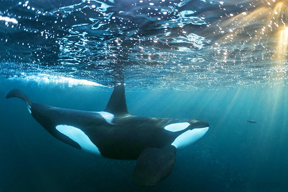Orca (Orcinus orca) below the water surface, Norway, Tromvik, Kaldfjorden, Europe