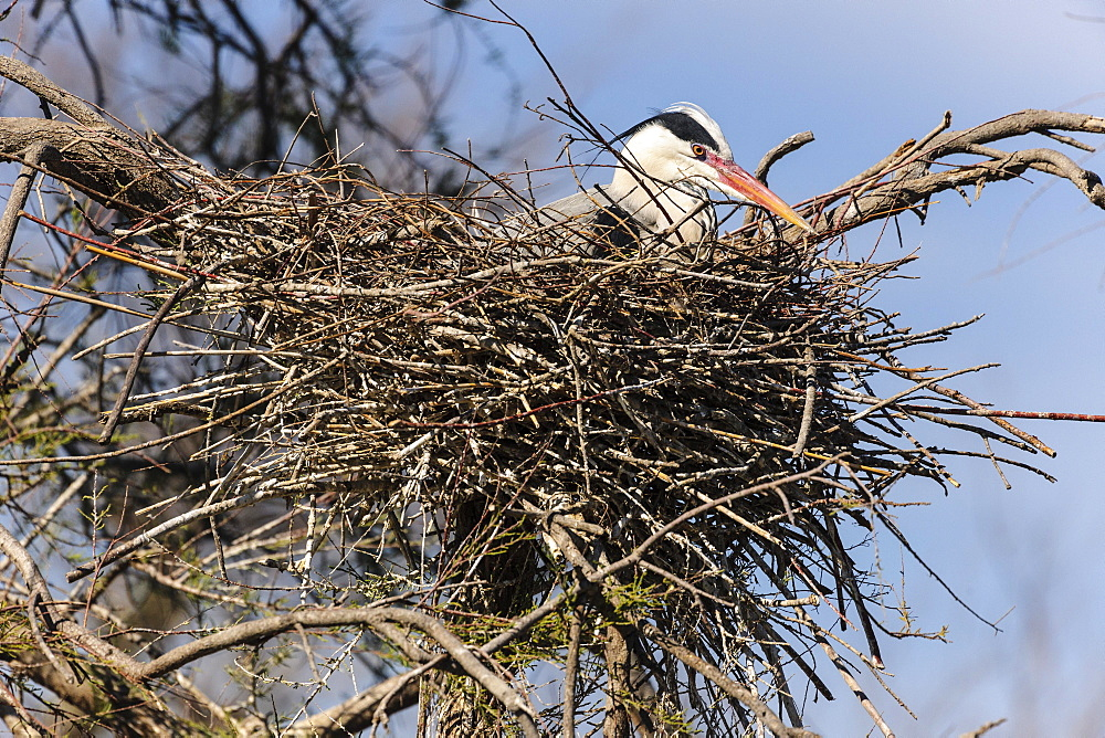 Grey Heron (Ardea cinerea) in nest, Stes Maries de la mer, Camargue, Southern France, France, Europe