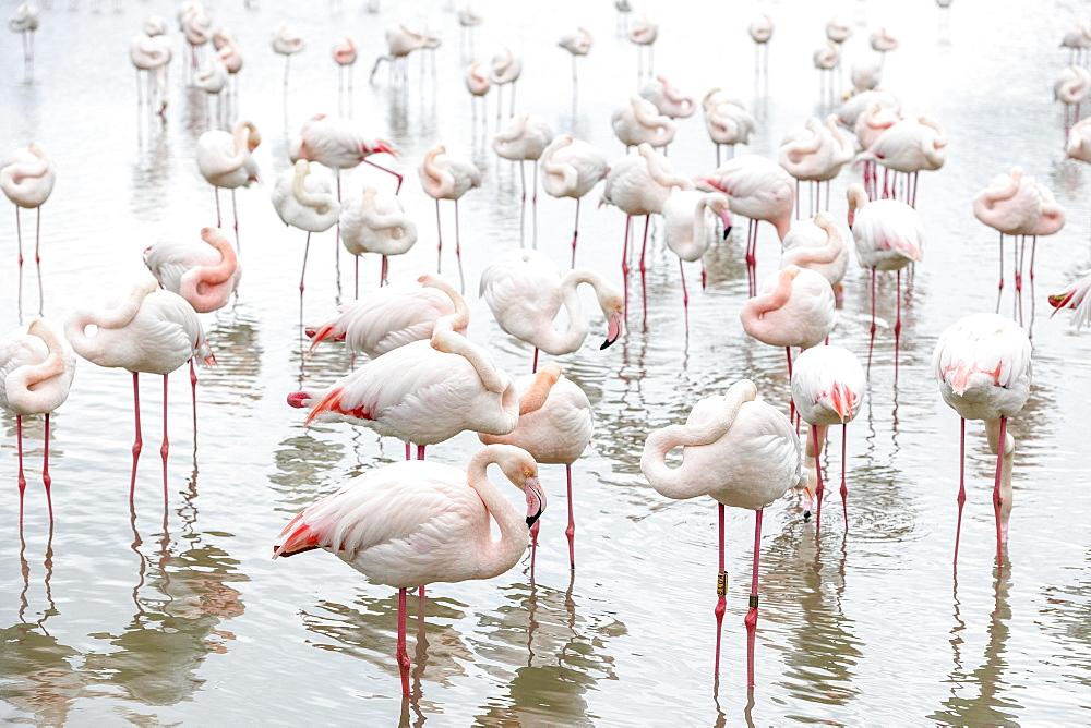 Pink Flamingos (Phoenicopterus roseus) in water, heads in feathers, Parc ornithologique de Pont de Gau, Saintes-Marie de la Mer, Camargue, Southern France, France, Europe