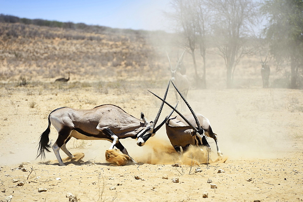 Fighting Gemsboks (Oryx gazella), Kgalagadi Transfrontier Park, North Cape, South Africa, Africa - 832-379181