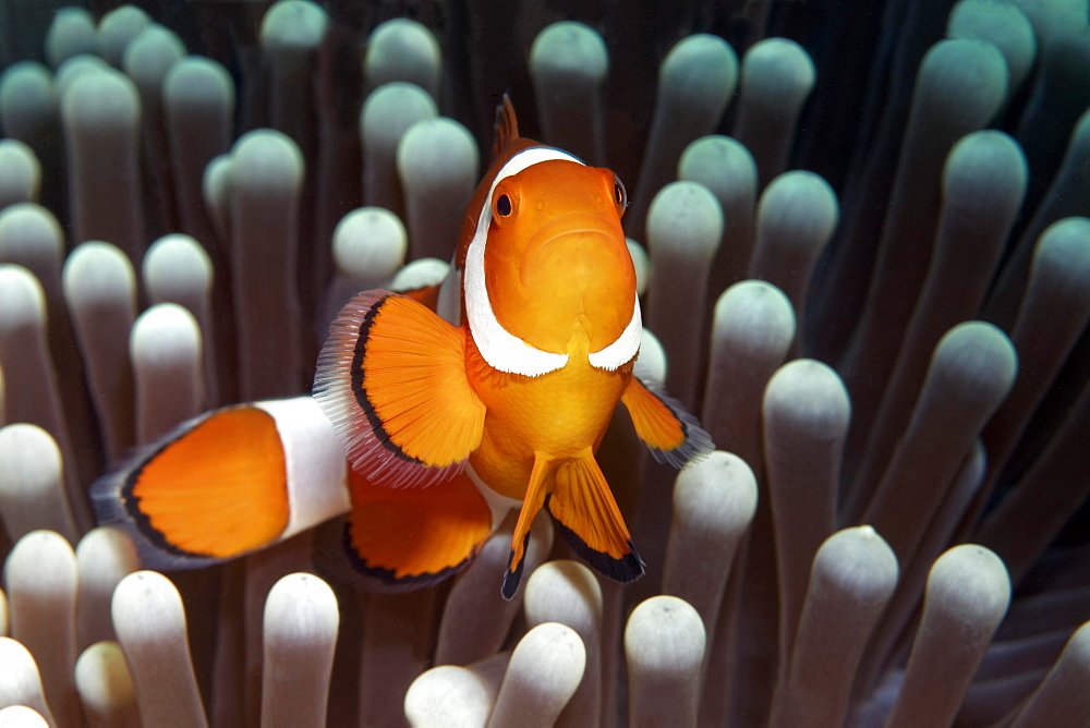 Ocellaris clownfish (Amphiprion ocellaris) in front of Ritteri anemone (Heteractis magnifica), Saparua, Maluku Islands, Banda Sea, Pacific Ocean, Indonesia, Asia