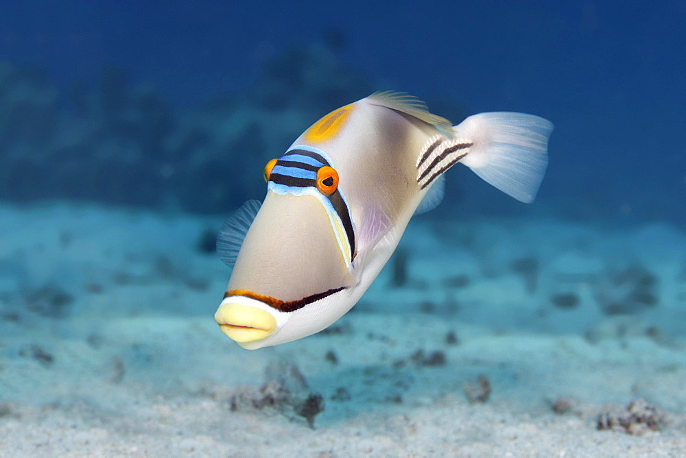 Arabian Picasso triggerfish (Rhinecanthus assasi), Red Sea, Egypt, Africa