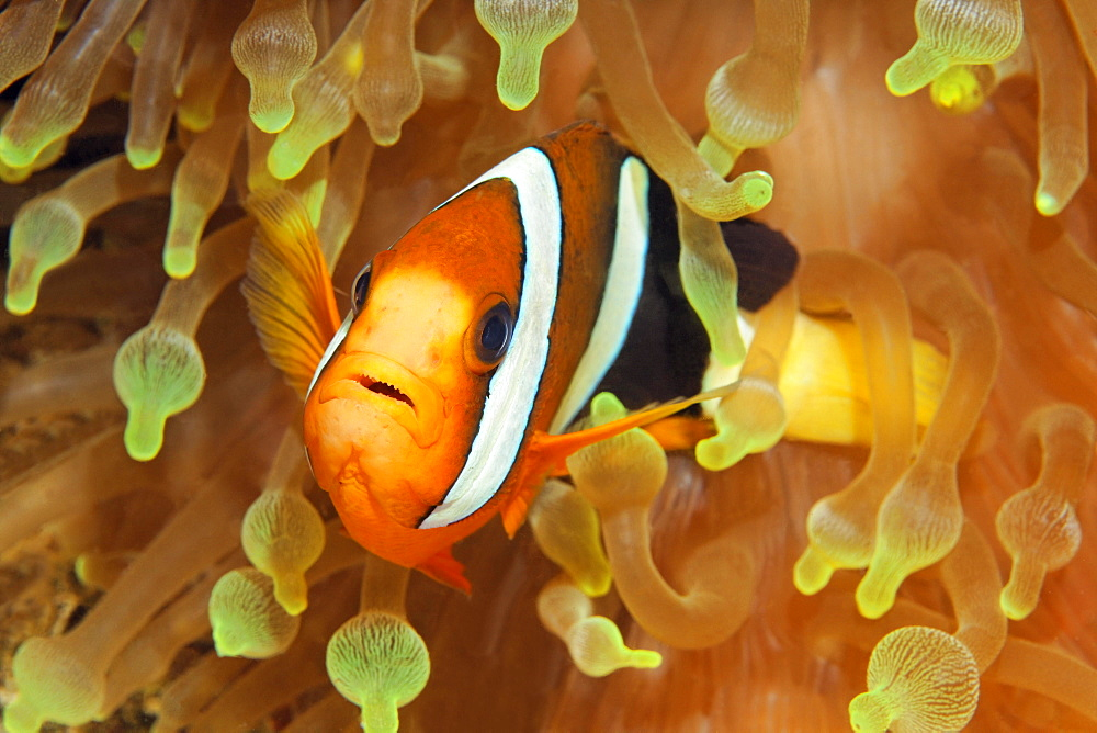 Clarks anemonefish (Amphiprion clarkii) in bladder anemone (Entacmaea quadricolor), Raja Ampat Archipelago, Papua Barat, Western New Guinea, Pacific Ocean, Indonesia, Asia