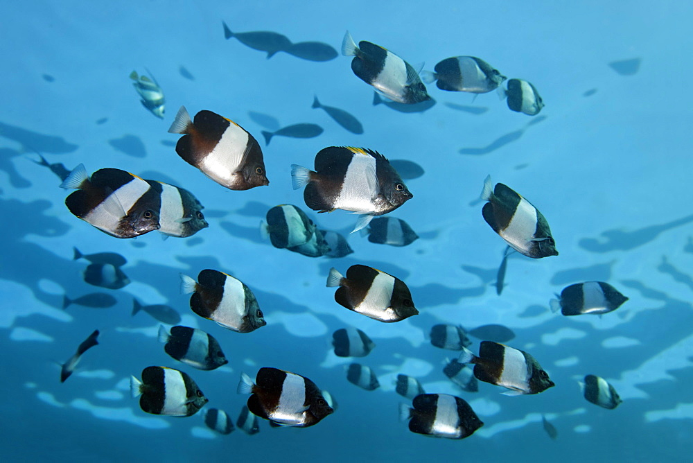 Swarm Brown-and-white butterflyfish (Hemitaurichthys zoster), Indian Ocean, Maldives, Asia - 832-379189