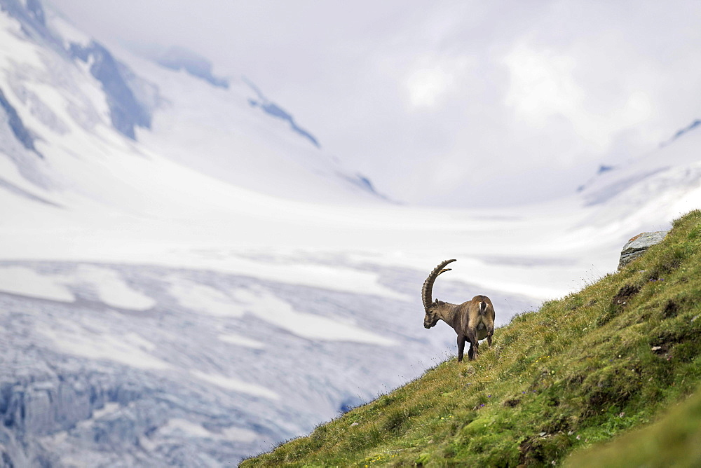 Alpine Ibex (Capra Ibex) in front of glacier, Hohe Tauern National Park, Carinthia, Austria, Europe