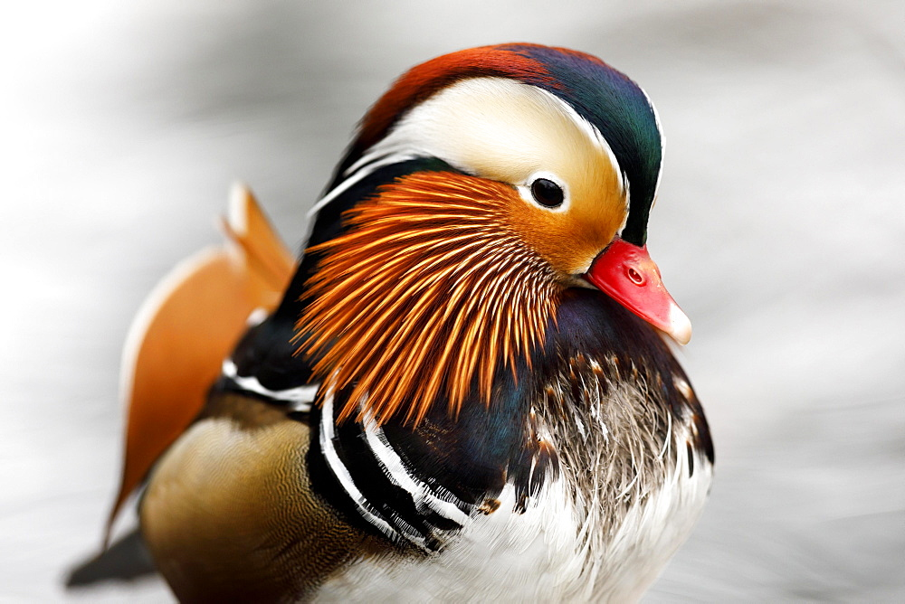 Mandarin duck (Aix galericulata), Germany, Europe