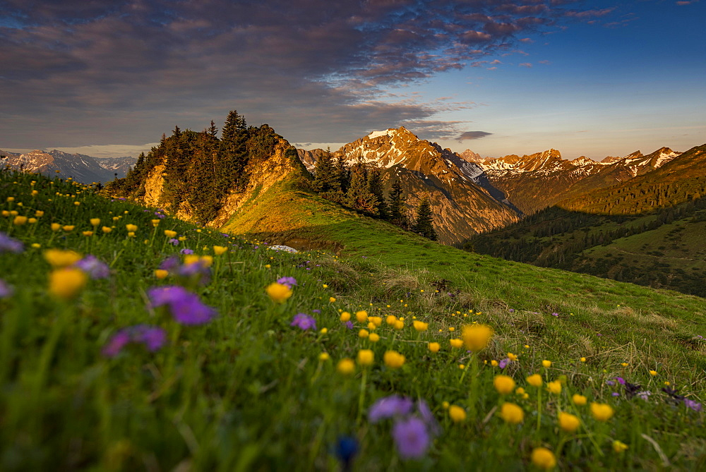 Sunrise behind meadow with Globeflowers (Trollius europaeus) and Allgauer Bergen in the background, Tannheimer Tal, Tyrol, Austria, Europe