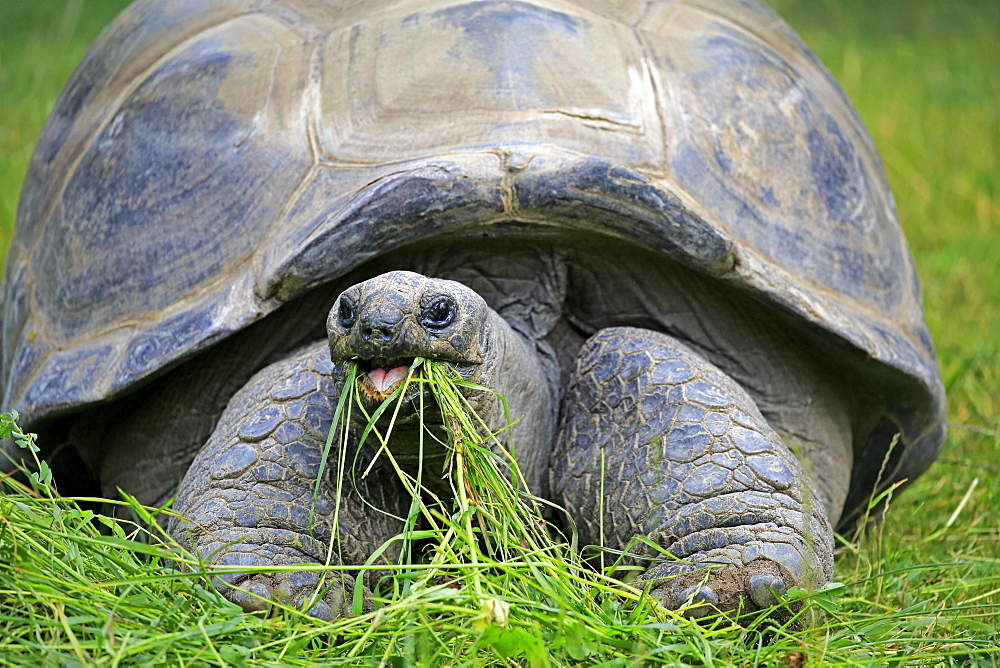 Aldabra Giant Tortoise (Aldabrachelys gigantea), adult, feeding, Seychelles, Africa