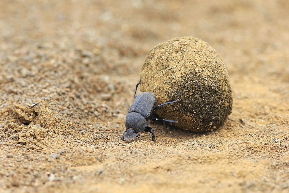 Dung beetle (Scarabaeus sacer), adult, rolling dung ball, elephant dung for egg deposition, Saint Lucia Estuary, iSimangaliso Wetland Park, Kwazulu Natal, South Africa, Africa