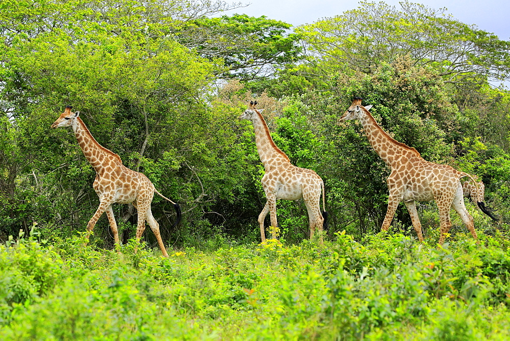 Cape giraffes (Giraffa camelopardalis giraffa), adult, group, food search, Saint Lucia Estuary, Isimangaliso Wetland Park, Kwazulu Natal, South Africa, Africa