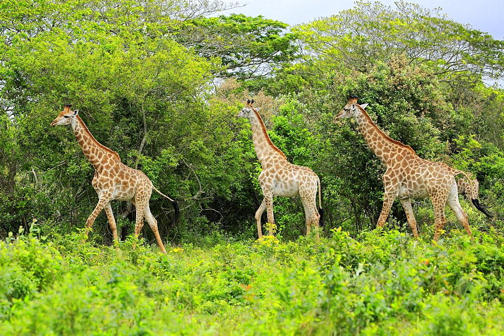 Cape giraffes (Giraffa camelopardalis giraffa), adult, group, food search, Saint Lucia Estuary, Isimangaliso Wetland Park, Kwazulu Natal, South Africa, Africa - 832-379260