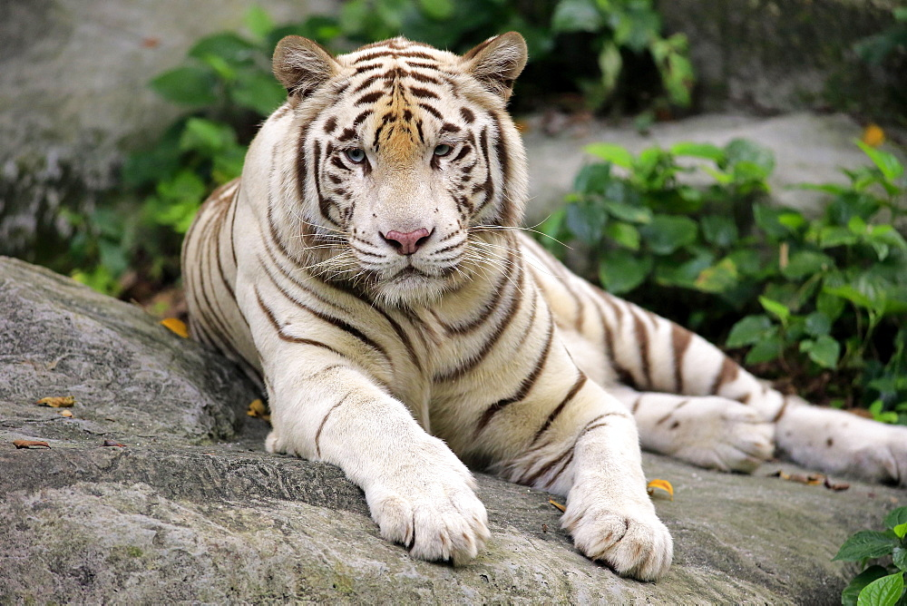 White Bengal tiger (Panthera tigris tigris) lying on rock, adult resting, portrait, captive, native to India