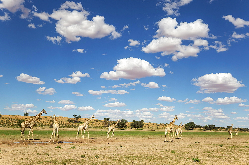 Southern Giraffes (Giraffa giraffa), herd gathered at rainwater pool in the Auob riverbed, rainy season with green surroundings and cumulus clouds, Kalahari Desert, Kgalagadi Transfrontier Park, South Africa, Africa
