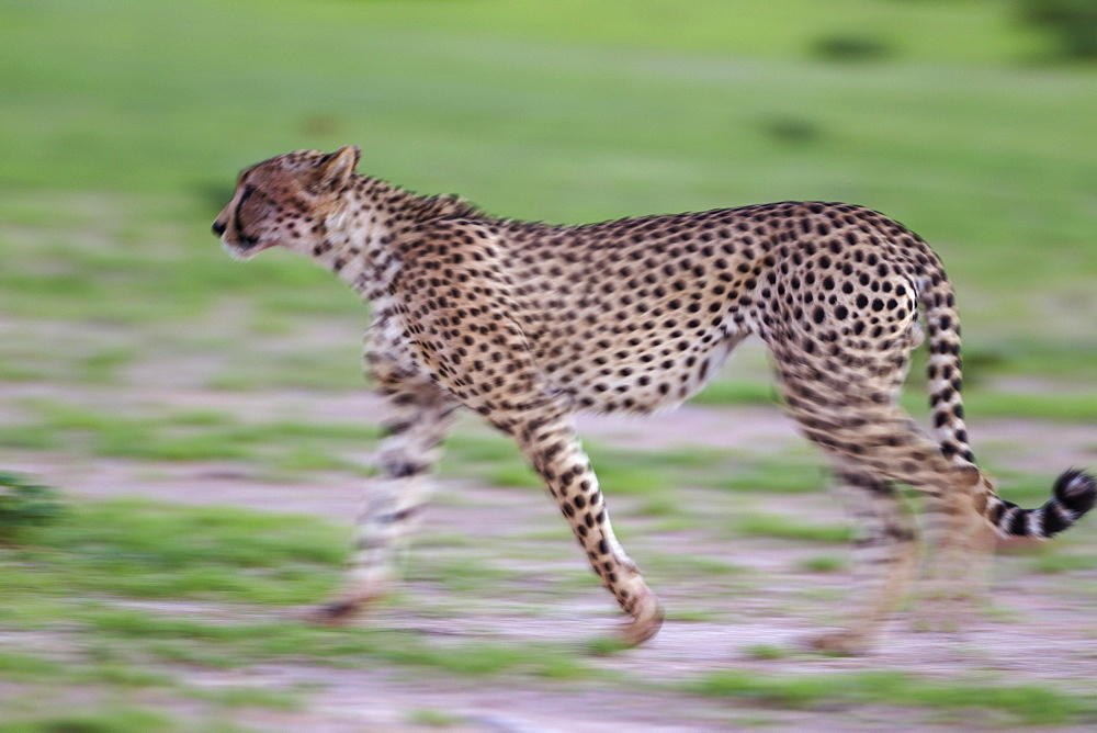 Cheetah (Acinonyx jubatus), walking during the rainy season in green surroundings, Kalahari Desert, Kgalagadi Transfrontier Park, South Africa, Africa - 832-379277