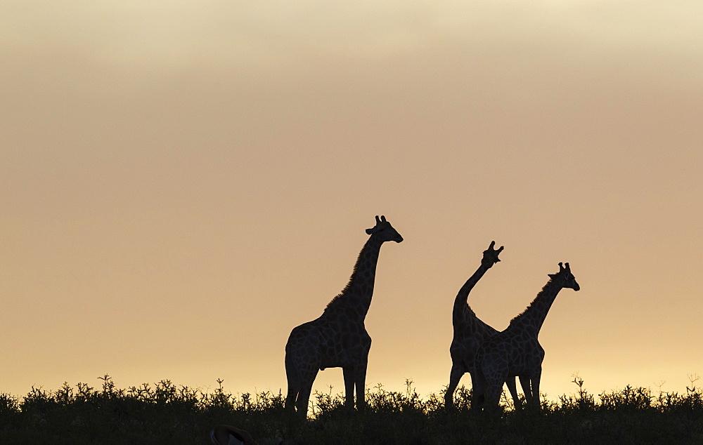 Southern Giraffes (Giraffa giraffa), three males at dawn, two of them are fighting, Kalahari Desert, Kgalagadi Transfrontier Park, South Africa, Africa