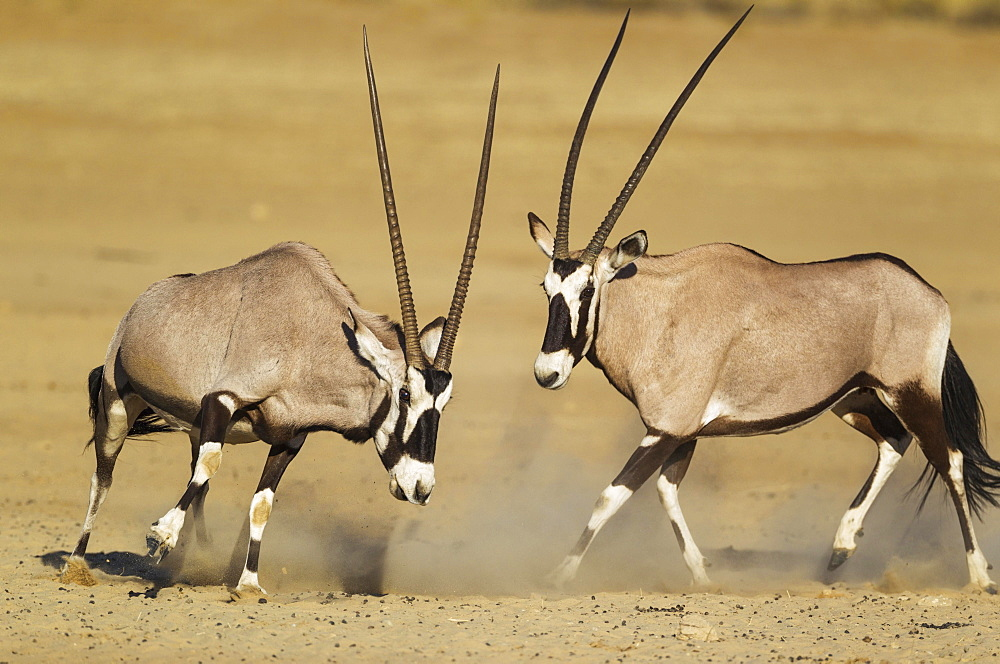 Gemsboks (Oryx gazella), fighting females, Kalahari Desert, Kgalagadi Transfrontier Park, South Africa, Africa