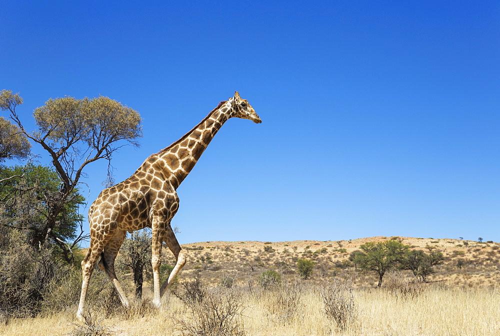 Southern Giraffe (Giraffa giraffa), aged male, Kalahari Desert, Kgalagadi Transfrontier Park, South Africa, Africa