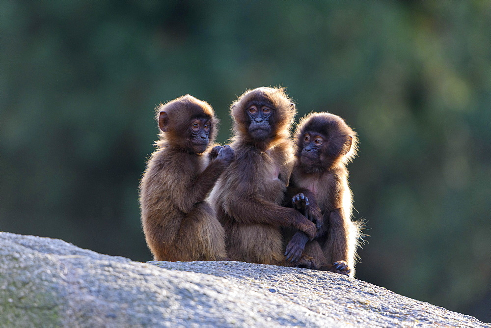 Geladas (Theropithecus gelada), young animals sit together on rocks, backlight, captive