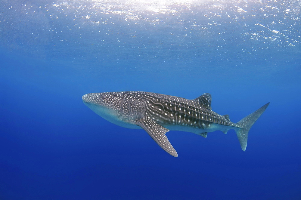 Whale Shark (Rhincodon typus), Bohol Sea, Cebu, Philippines, Asia