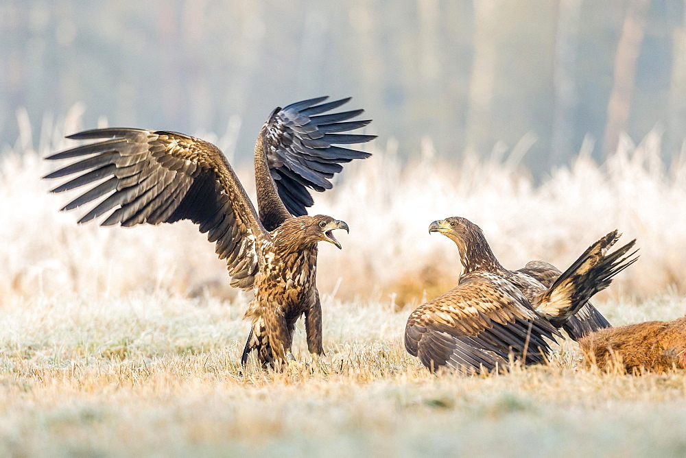 Two young eagles (Haliaeetus albicilla), fighting on the ground, with dead deer, Masuria, Poland, Europe