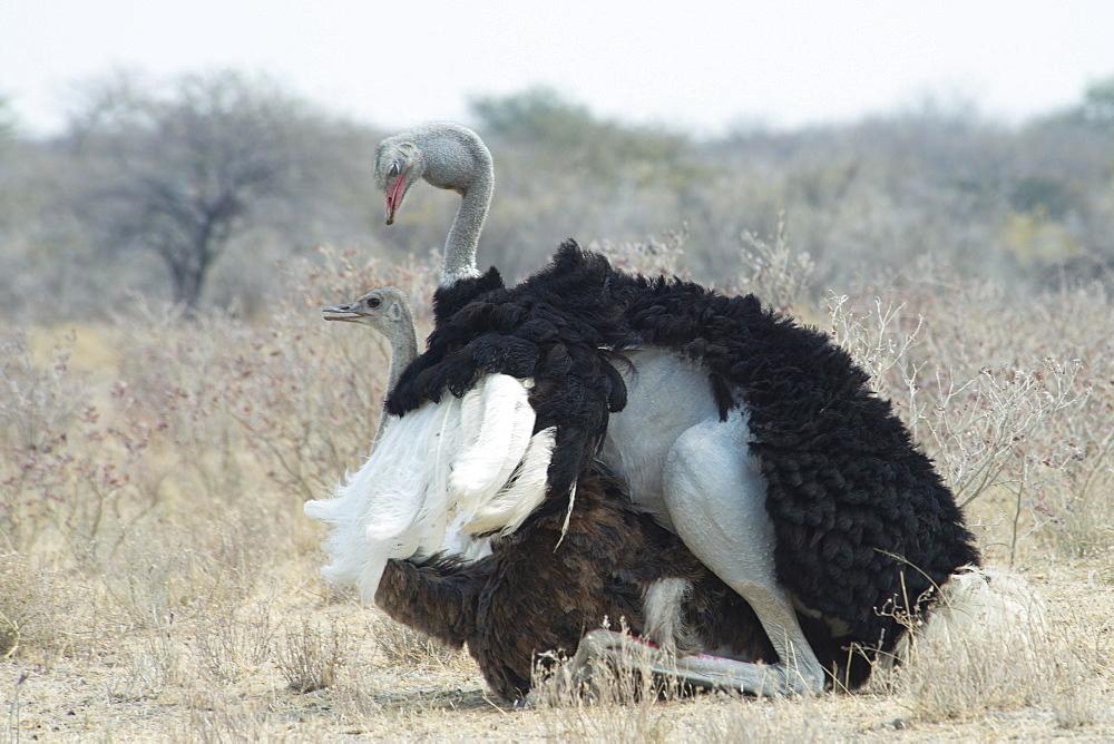 African ostriches (Struthio camelus), mating, Etosha National Park, Namibia, Africa