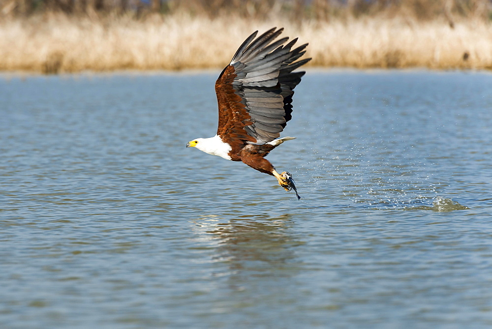 African fish eagle (Haliaeetus vocifer) with prey, Lake Baringo, Kenya, Africa