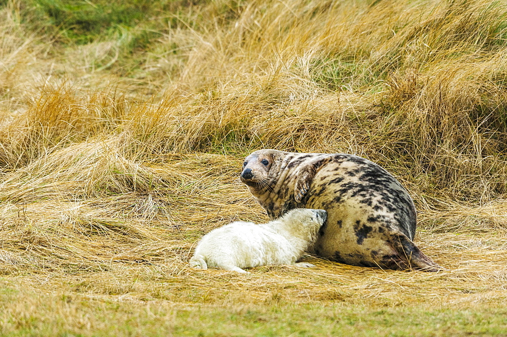 Grey seals (Halichoerus grypus), pup suckling on mother, Heligoland, Schleswig-Holstein, Germany, Europe