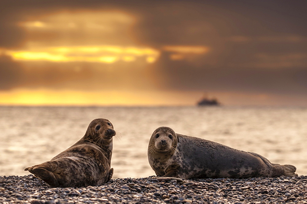 Grey seals (Halichoerus grypus) at sunrise, Heligoland, Schleswig-Holstein, Germany, Europe
