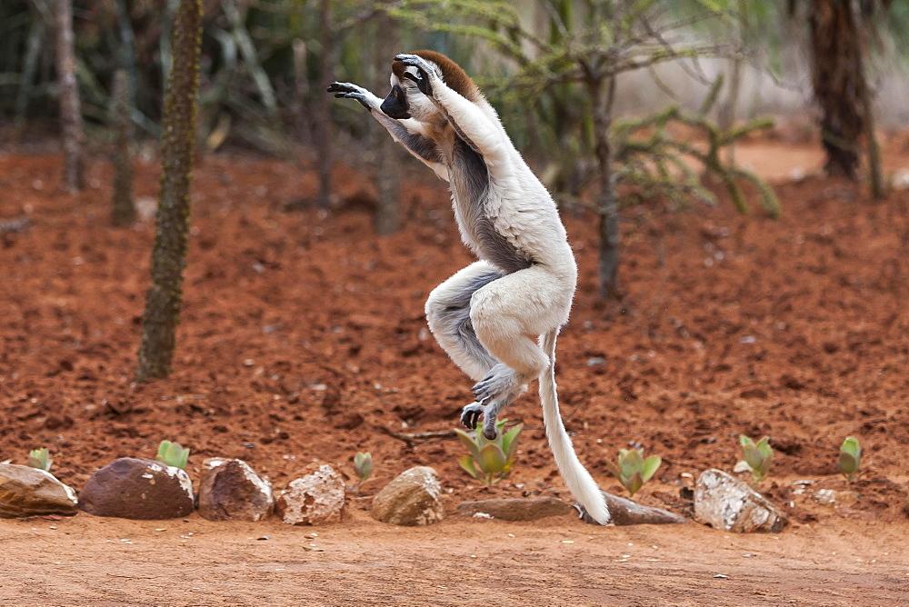 Jumping Verreaux's sifaka (Propithecus verreauxi), Berenty, Madagascar, Africa