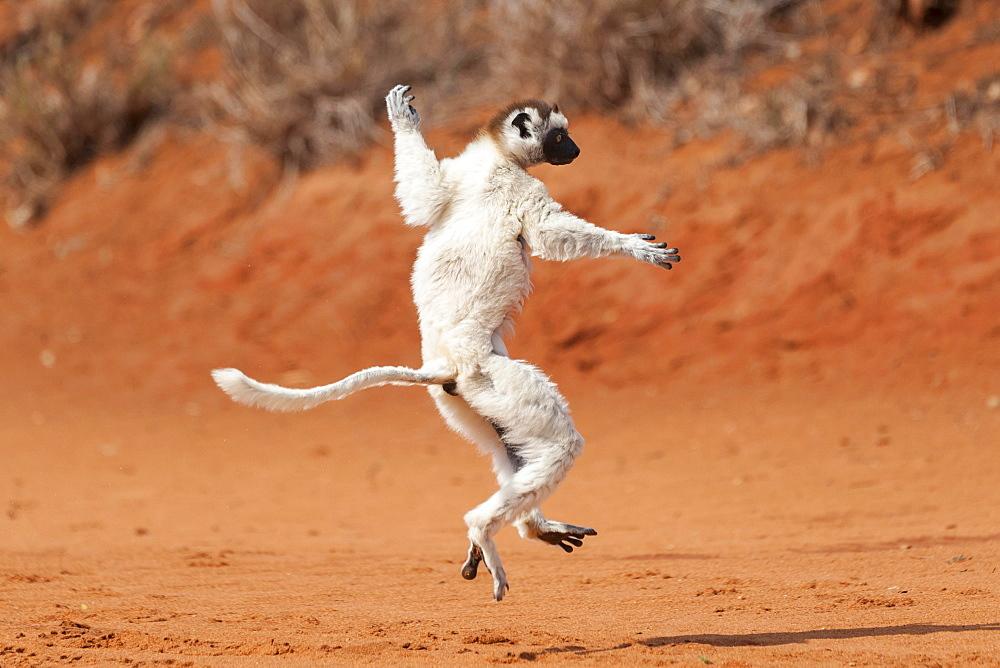 "A """"dancing"""" Verreaux's Sifaka or White Sifaka (Propithecus verreauxi), Madagascar, Africa - 832-379335"
