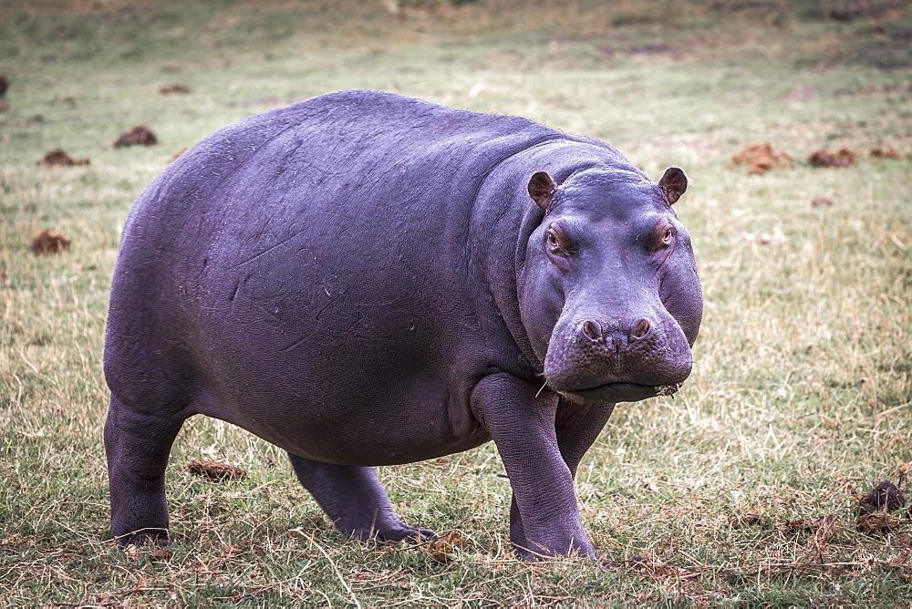 Hippopotamus (Hippopotamus amphibius) on meadow, Chobe National Park, Botswana, Africa
