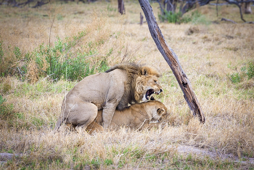 Lion (Panthera leo) mating, Okavango Delta, Botswana, Africa