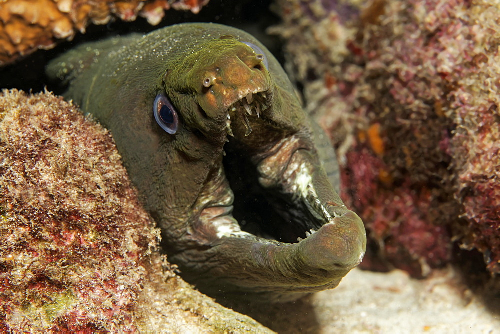 Panamic green moray eel or chestnut moray eel (Gymnothorax castaneus) making threatening gesture, Cocos Island, Costa Rica, Central America
