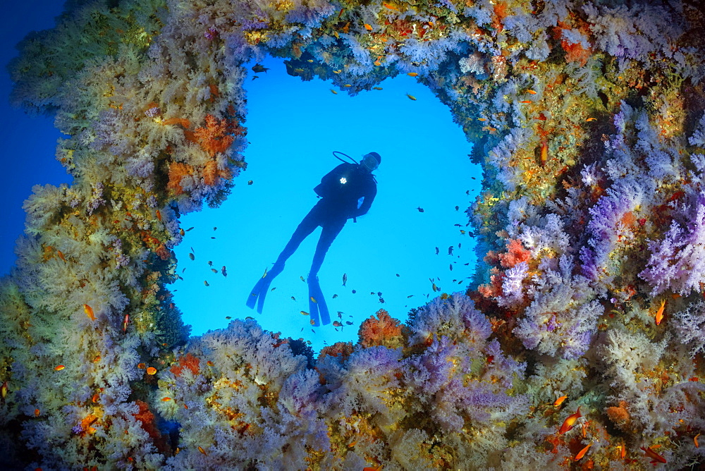 Diver, breakthrough in the overhang densely overgrown with soft corals (Alcyonacea), blue, hanging, Indian Ocean, Maldives, Asia