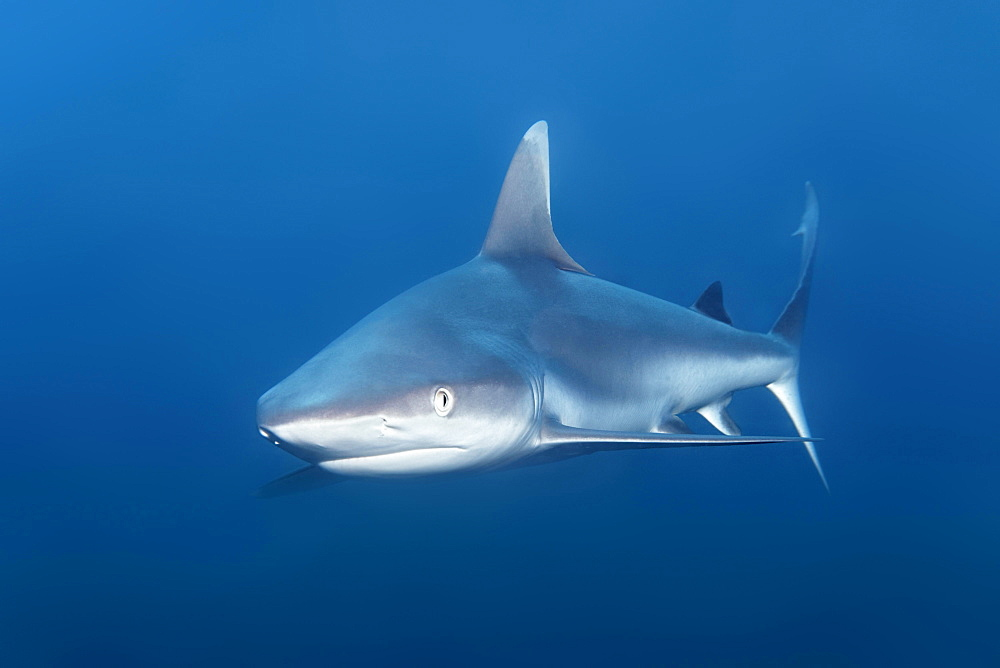 Grey Reef Shark (Carcharhinus amblyrhynchos), Indian Ocean, Maldives, Asia
