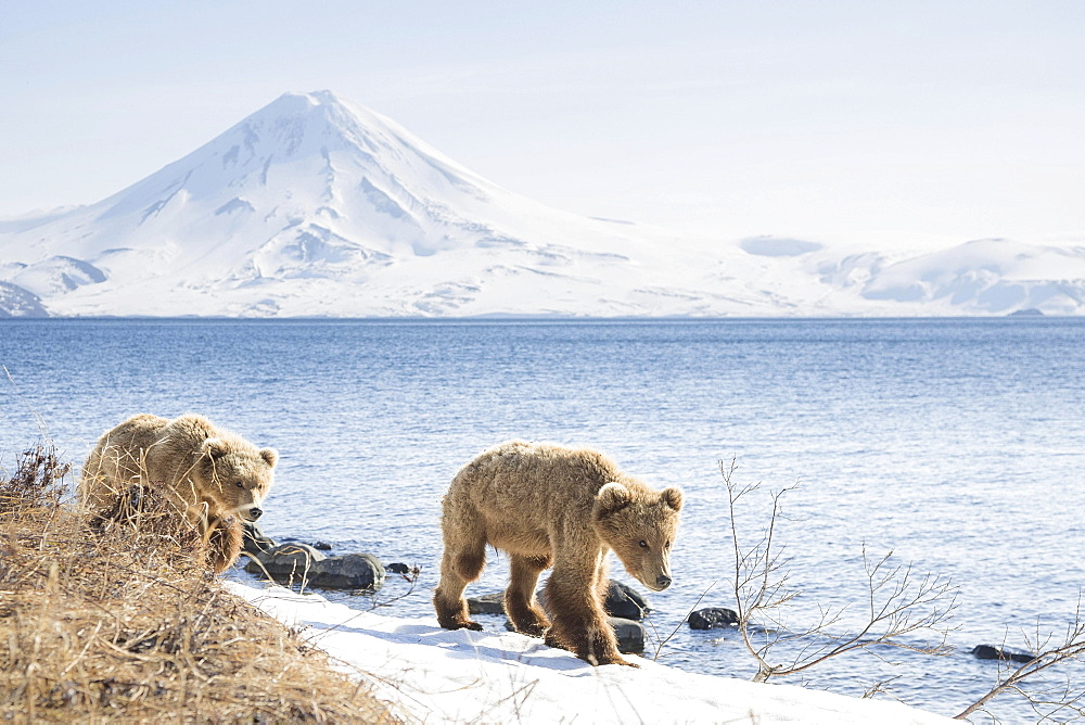 Brown bear (Ursus arctos), young bears walking along the banks, Kamchatka, Russia, Europe