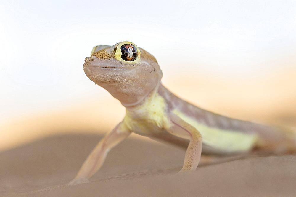 Namib sand gecko (Pachydactylus rangei) in Sand Dune, Namib-Naukluft Park, Namibia, Africa