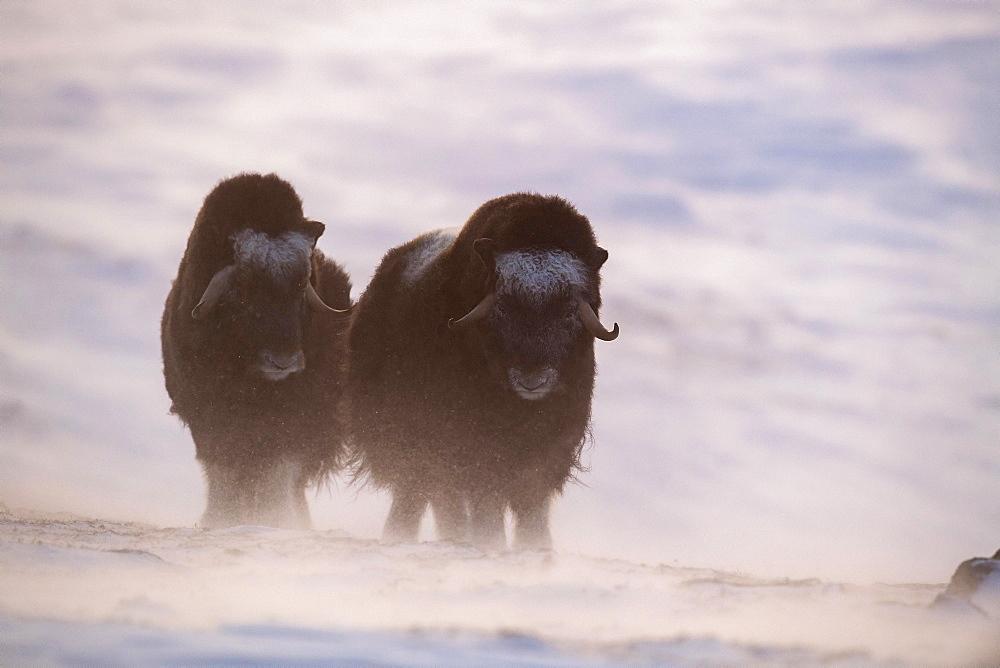 Musk oxes (Ovibos moschatus), two young animals, Dovrefjell Sunndalsfjella National Park, Norway, Europe