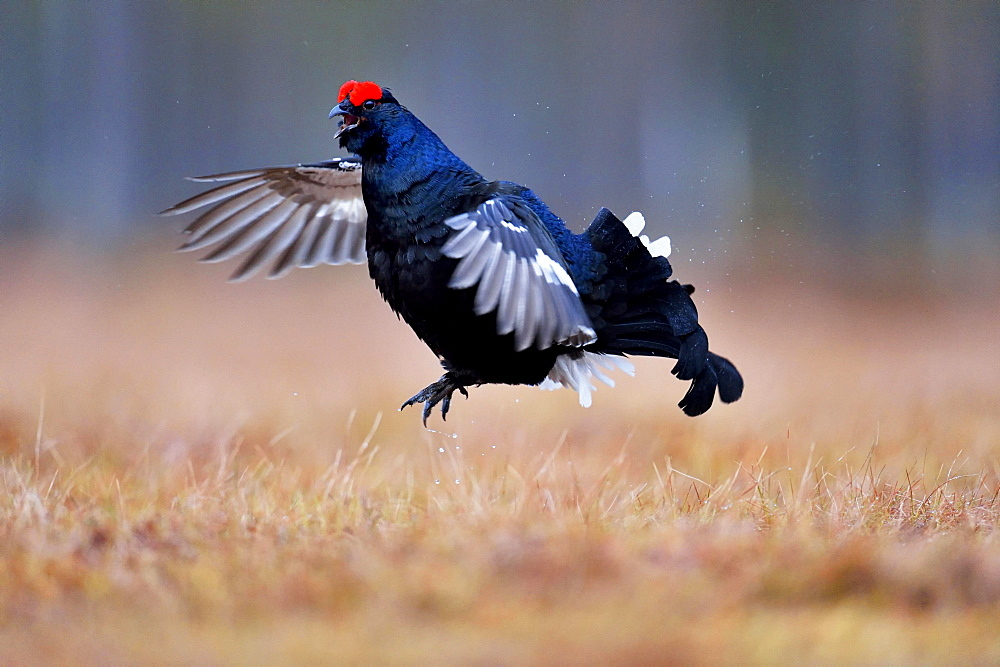 Black grouse, also blackgame or blackcock (Lyrurus tetrix), male taking flight, Hedmark, Norway, Europe